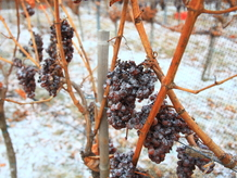p&f wineries_grapes frozen_Foto C. Ambroz.JPG