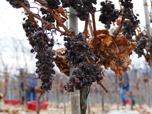 p&f wineries_grapes frozen2_Foto C. Ambroz.JPG