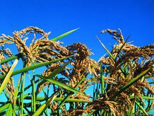 Rijstplanten.jpg