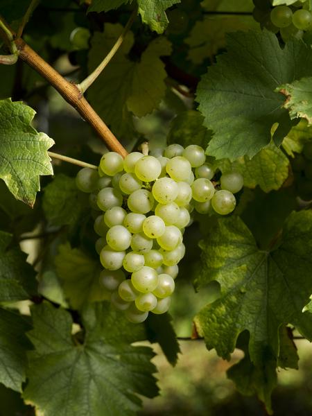 Chardonnay--CopyrightSPACH-ConseilVinsAlsace.jpg